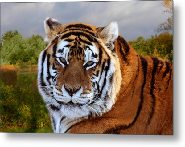 Bengal Tiger Portrait Metal Print