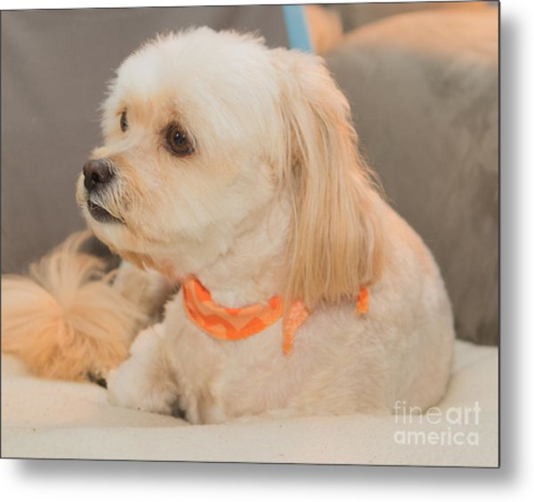 Benji On The Look Out Metal Print