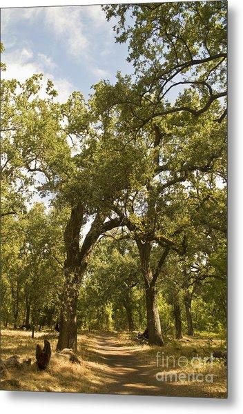 Bidwell Park Oak Tree Metal Print