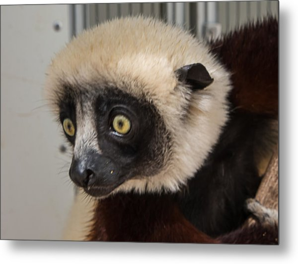 A Very Curious Sifaka Metal Print