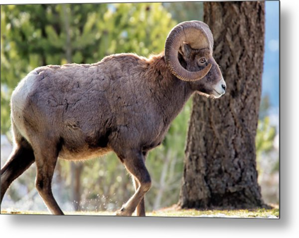 Metal Print featuring the photograph Big Horn Ram by David Buhler