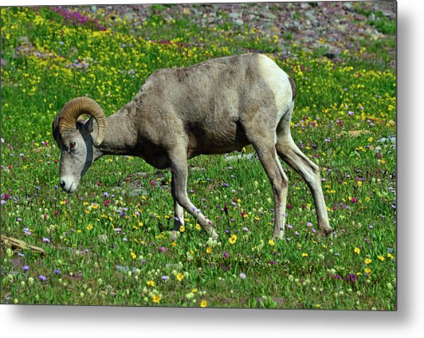 Big Horn Ram Eating Flowers In Glacier National Park Metal Print