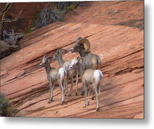 Big Horn Sheep, Zion National Park Metal Print