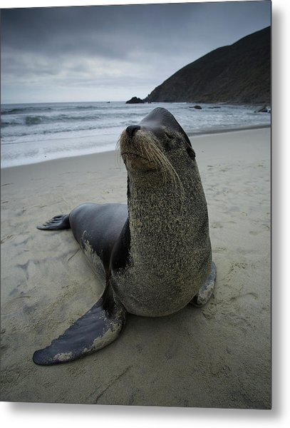 Big Seal Metal Print