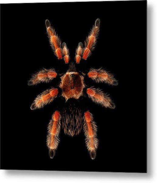 Big Spider Brachypelma Boehmei Metal Print
