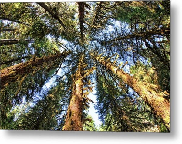 Big Trees In Olympic National Park Metal Print