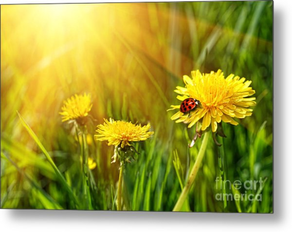 Big Yellow Dandelions In The Tall Grass Metal Print