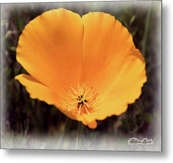Metal Print featuring the photograph Big Yellow Poppy by William Havle