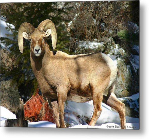 Bighorn Ram Metal Print by Perspective Imagery