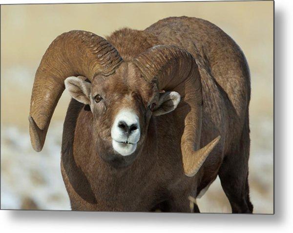 Bighorn Ram In Montana Metal Print