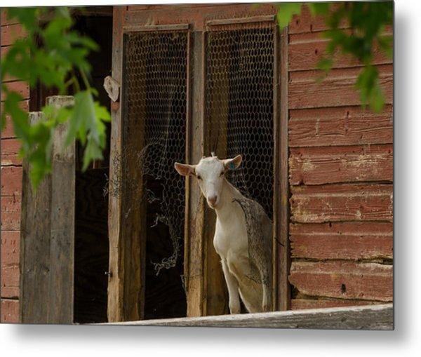 Billy Goat Metal Print