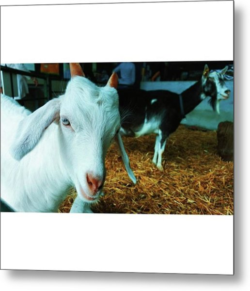 #billygoat #farm #sussex #animals Metal Print by Natalie Anne