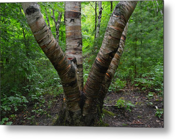 Birch Bark Tree Trunks Metal Print