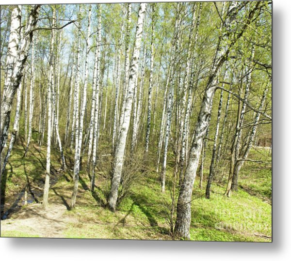 Birch Forest In Spring Metal Print
