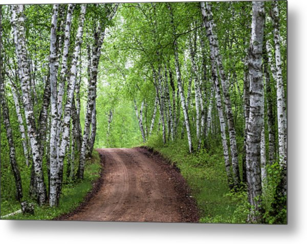 Birch Tree Forest Path #3 Metal Print