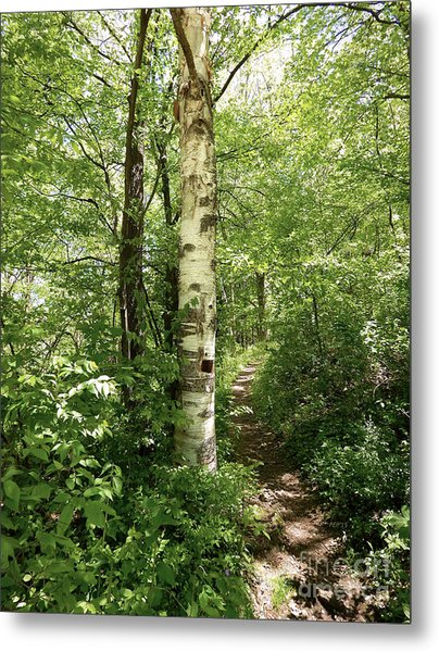 Birch Tree Hiking Trail Metal Print