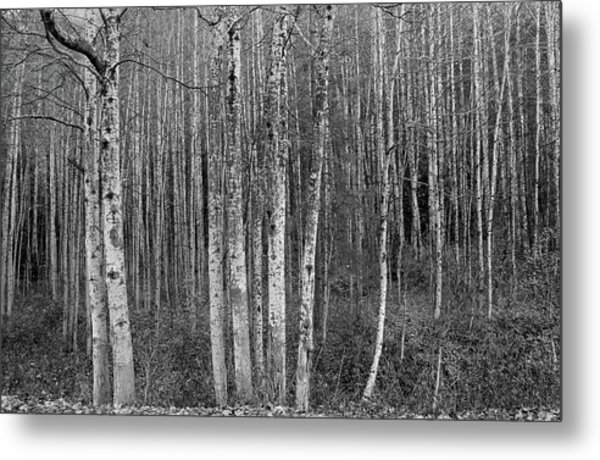 Birch Tress Metal Print