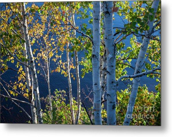 Birches On Lake Shore Metal Print