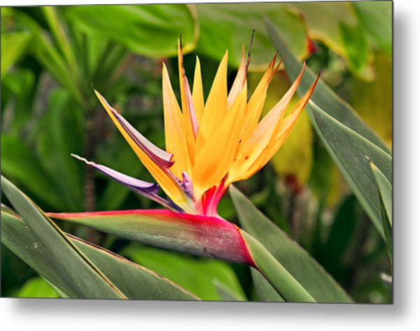 Bird Of Paradise Photo Metal Print by Peter J Sucy