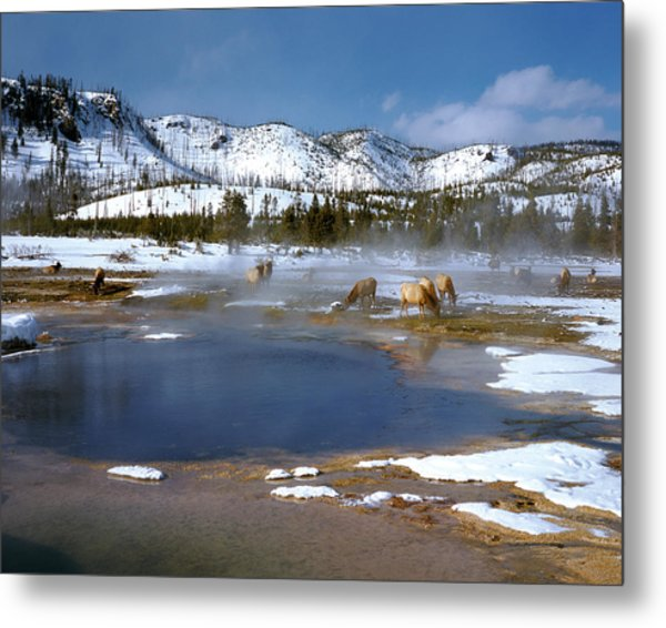 Biscuit Basin Elk Herd Metal Print