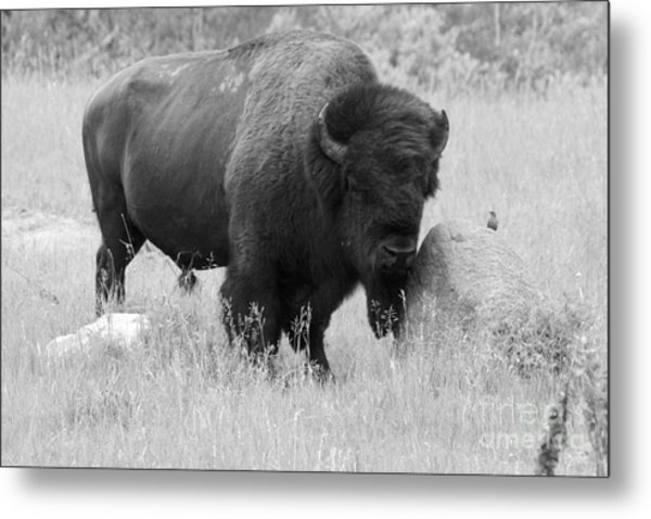 Bison And Buffalo Metal Print