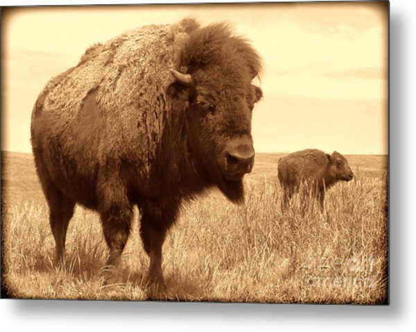Bison And Calf Metal Print