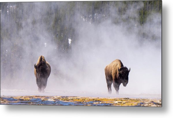 Bison At Biscuit Basin Metal Print