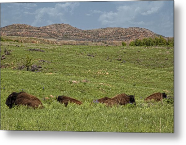 Bison At Rest Metal Print