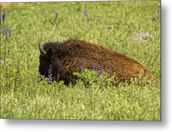 Bison In Bluebonnests Metal Print