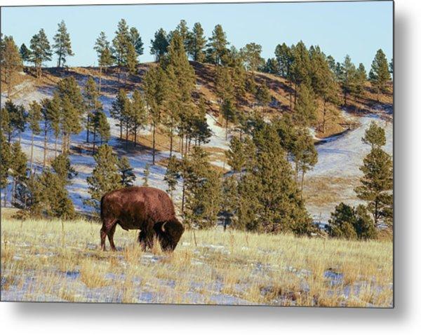 Bison In Custer State Park Metal Print