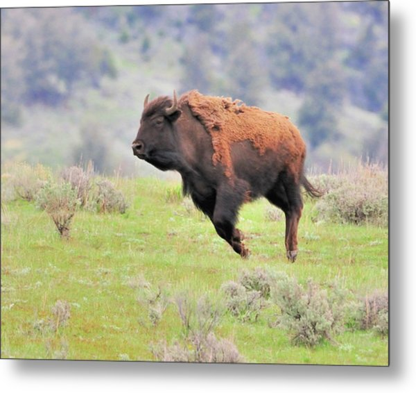 Bison In Flight Metal Print by John R Young Jr
