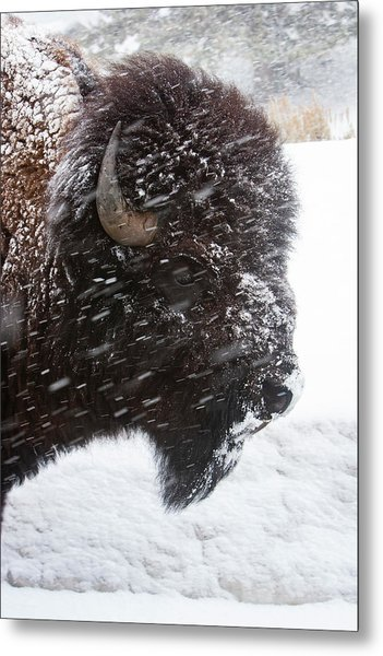 Bison In Snow Metal Print