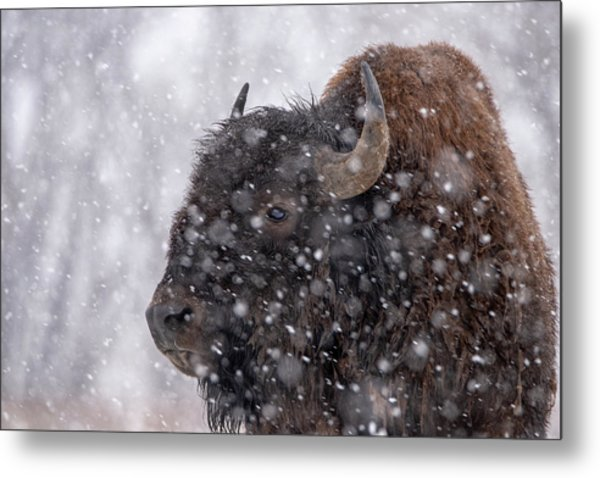 Metal Print featuring the photograph Bison In Snow by Philip Rodgers