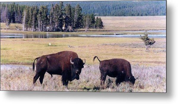 Bison In Yellowstone Metal Print