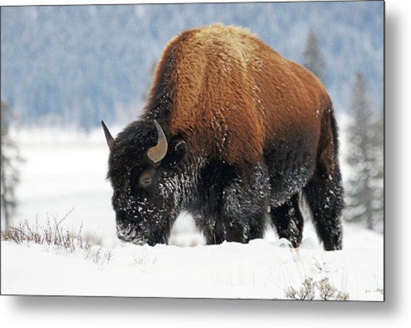 Bison Roaming In The Lamar Valley Metal Print