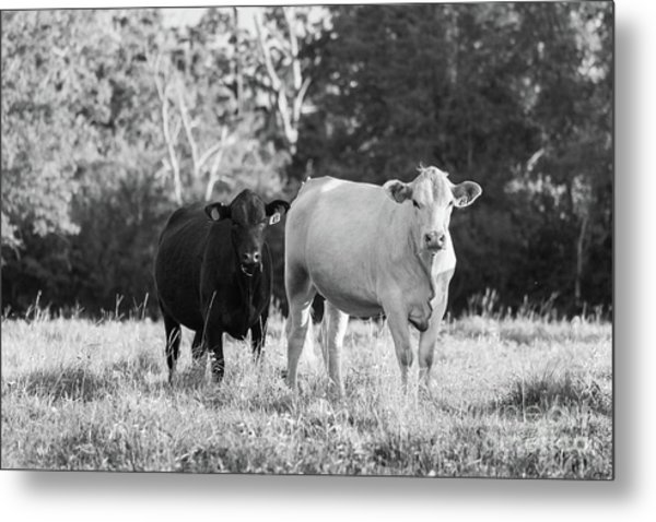 Black And White Cows Metal Print