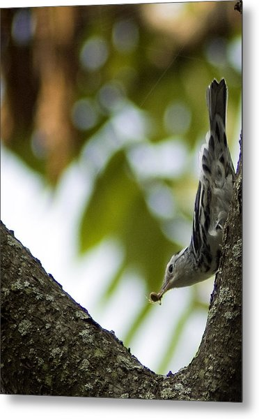 Metal Print featuring the photograph Black And White Warbler by Wade Clark