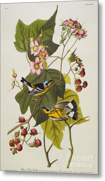 Black And Yellow Warbler Metal Print