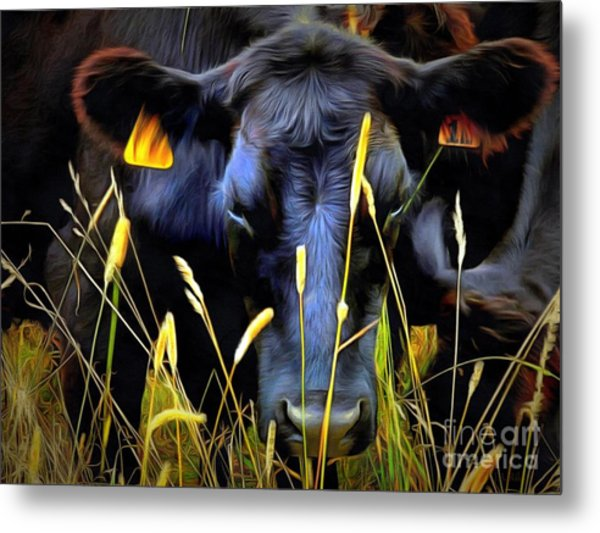 Black Angus Cow  Metal Print