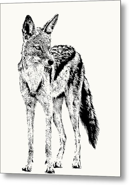 Black-backed Jackal Full Figure Metal Print