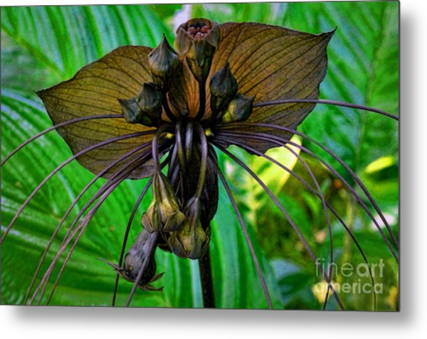 Black Bat Orchid Metal Print
