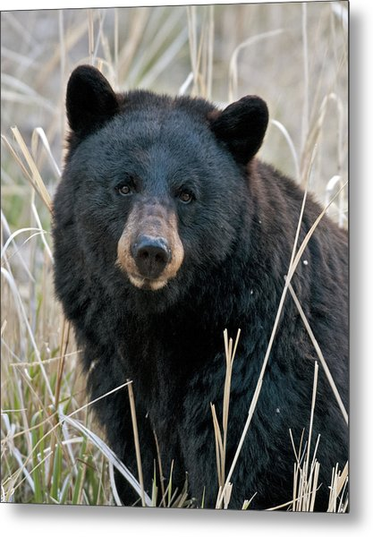 Black Bear Closeup Metal Print