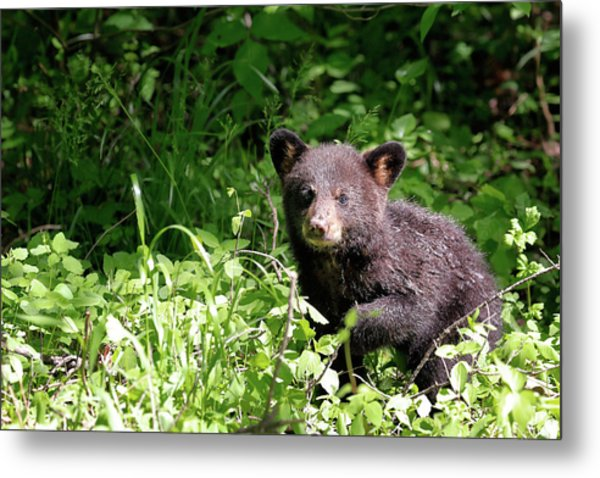 Metal Print featuring the photograph Black Bear Cub by Nicholas Blackwell
