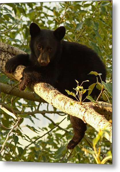 Black Bear Cub Resting On A Tree Branch Metal Print