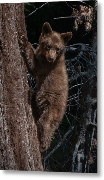 Black Bear Cub Sequoia National Park Metal Print