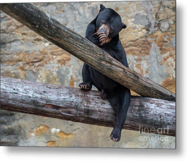 Black Bear Cub Sitting On Tree Trunk Metal Print