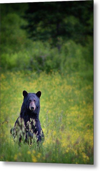 Black Bear Lookin At Me Metal Print