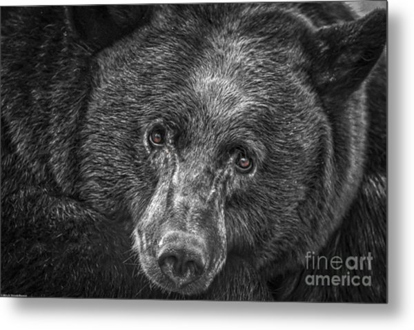 Black Bear Portrait 3 Metal Print