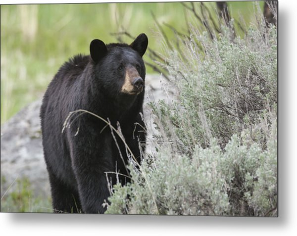 Black Bear Sow Metal Print