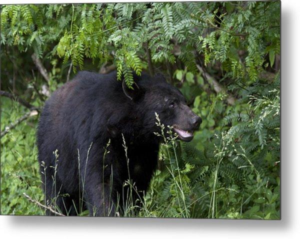 Black Bear Metal Print by Tina B Hamilton